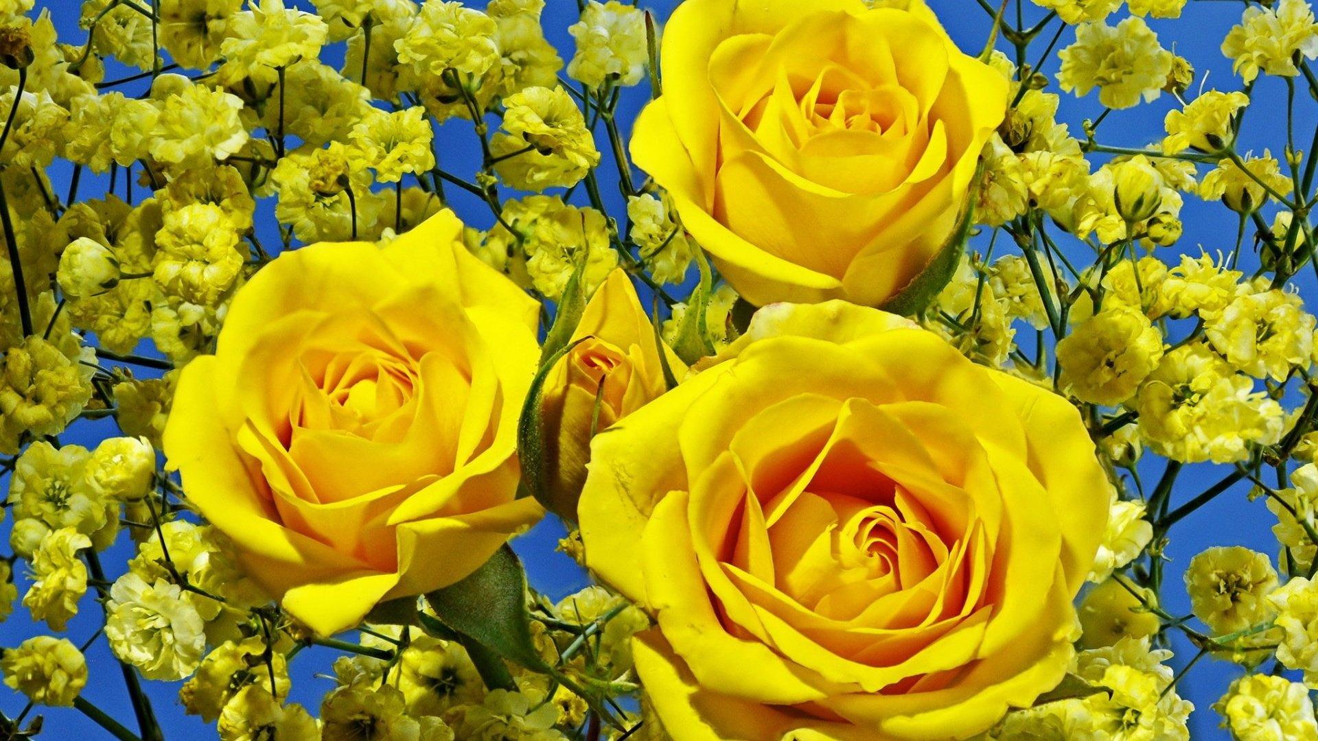 розы,желтые,букет,гипсофила,бутоны  № 761799 загрузить