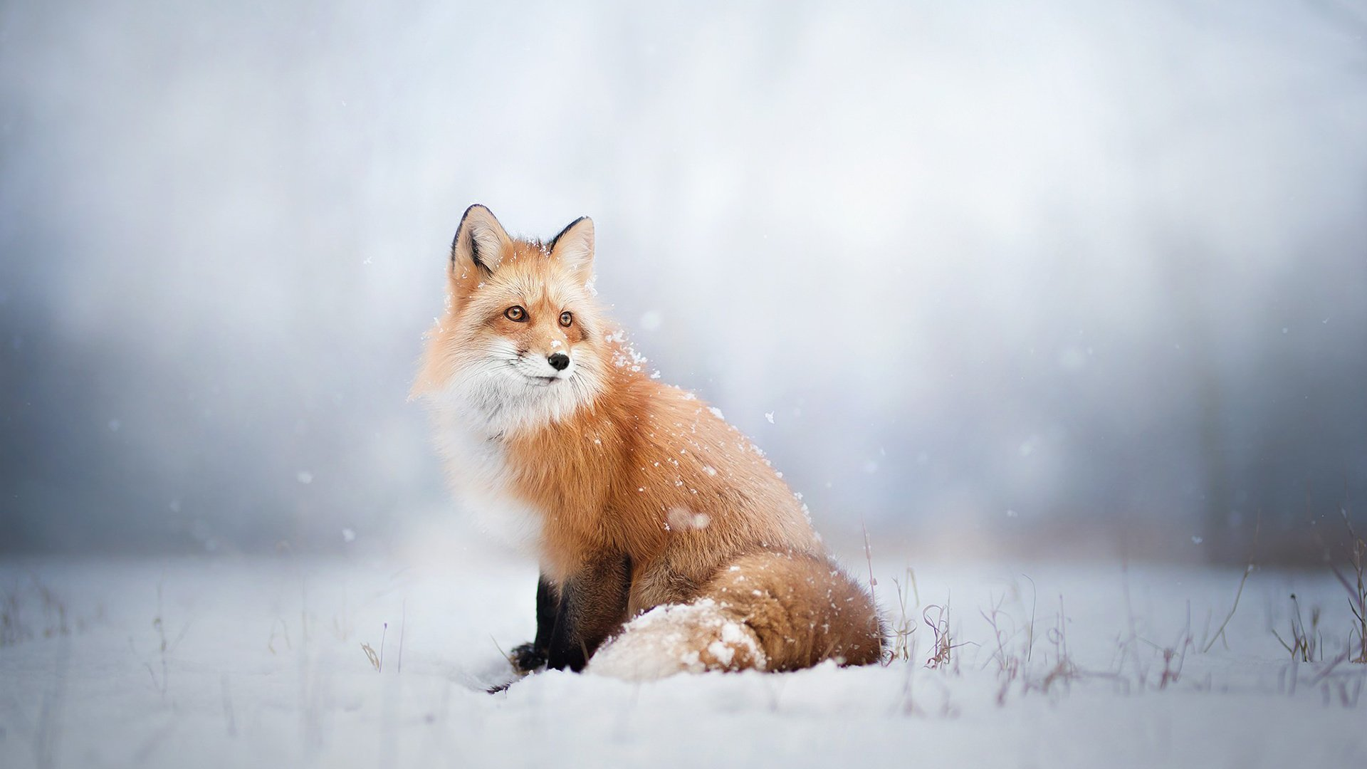 лиса природа животное снег зима без регистрации