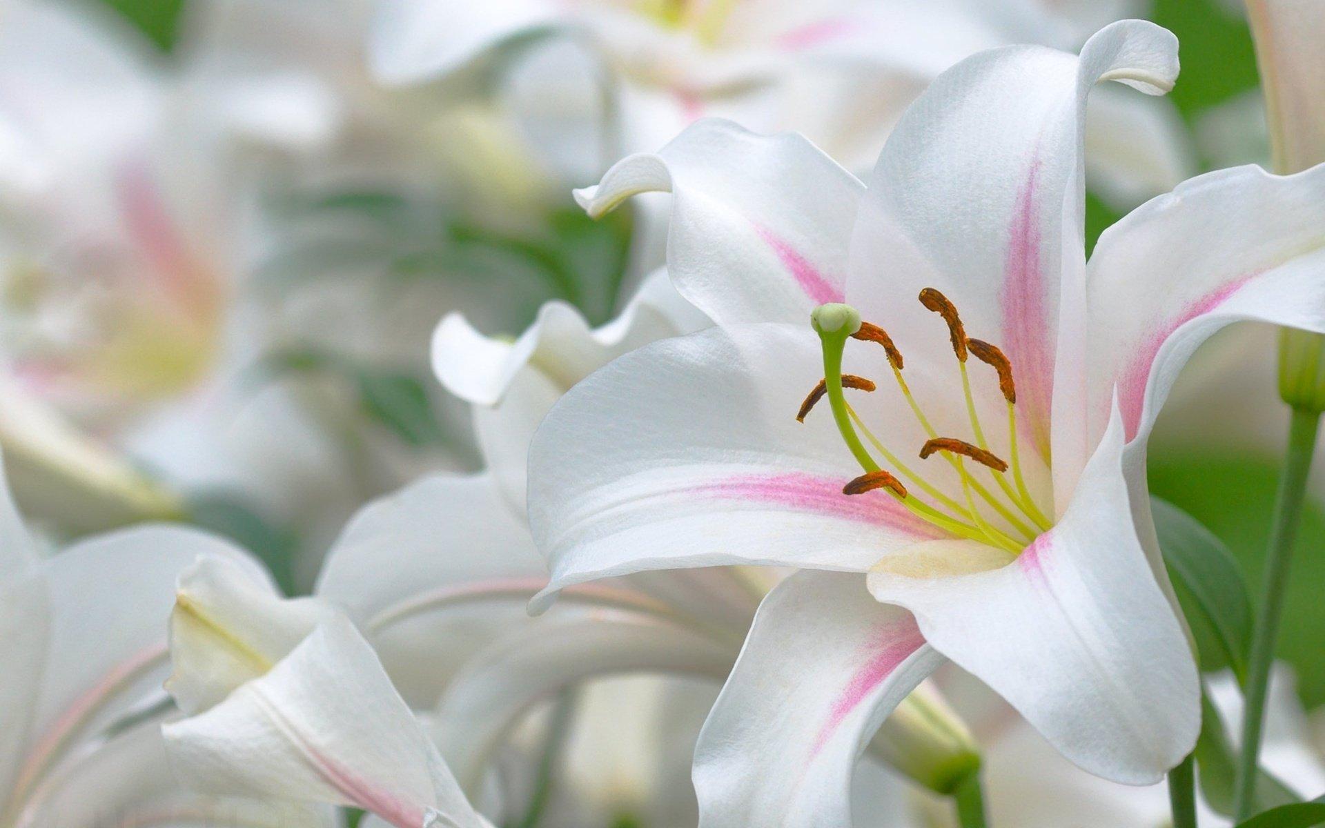 Моя киса, цветы лилии картинки красивые