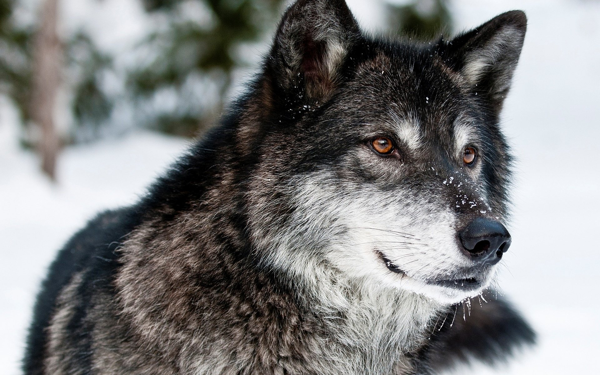 Картинка с надписью серый волк, день рождения