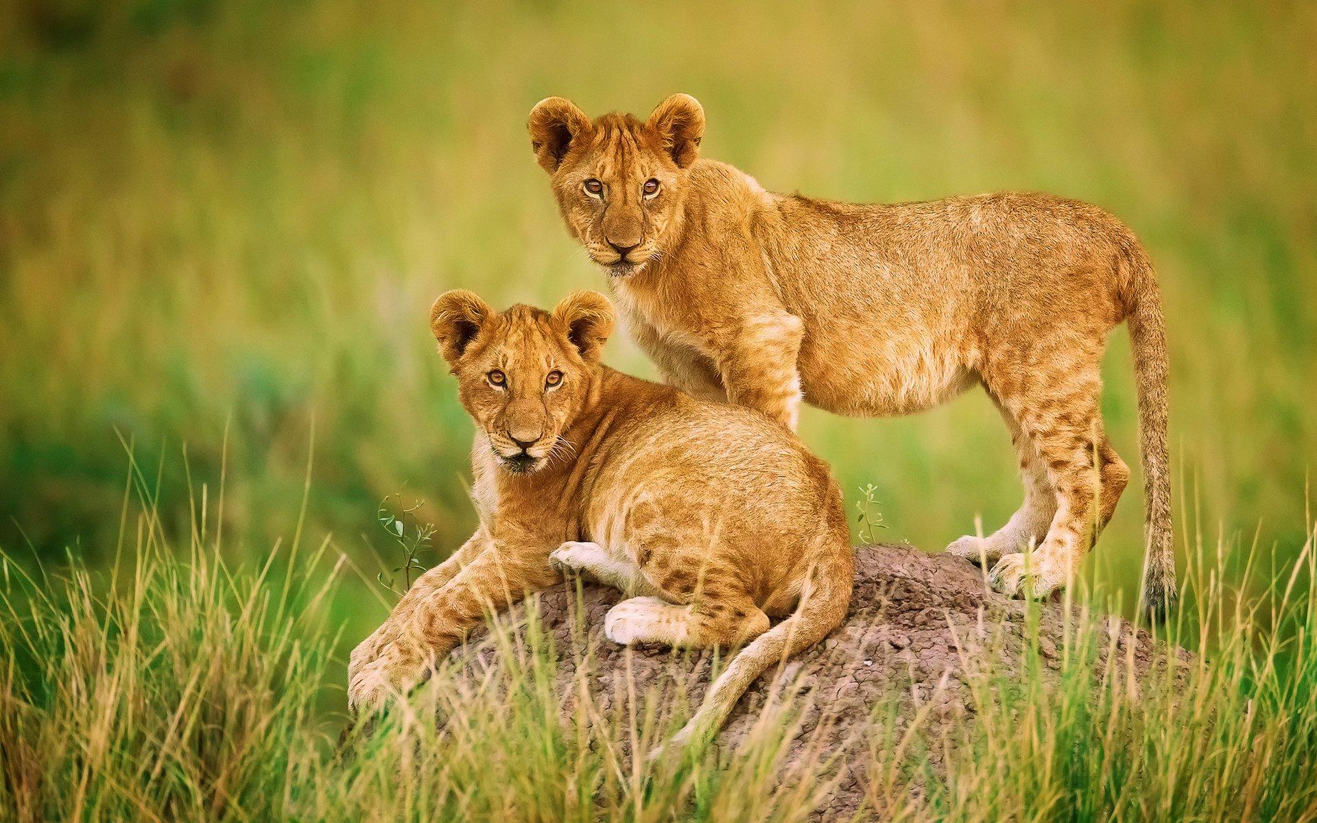 лев и львенок на траве бесплатно