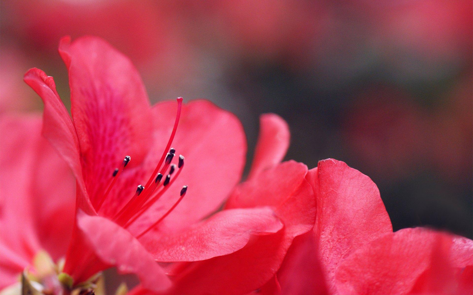 азалия лепестки цветы  № 3898058 загрузить