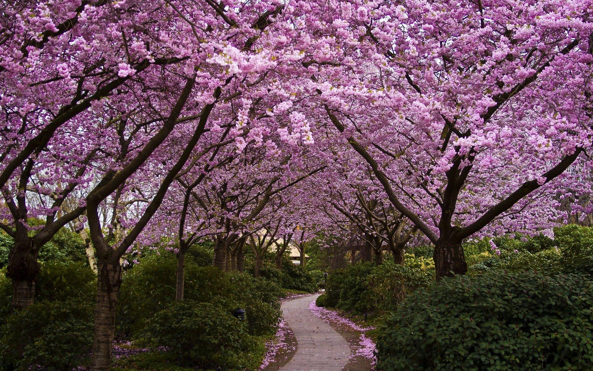 Картинки цветущие сады сакура