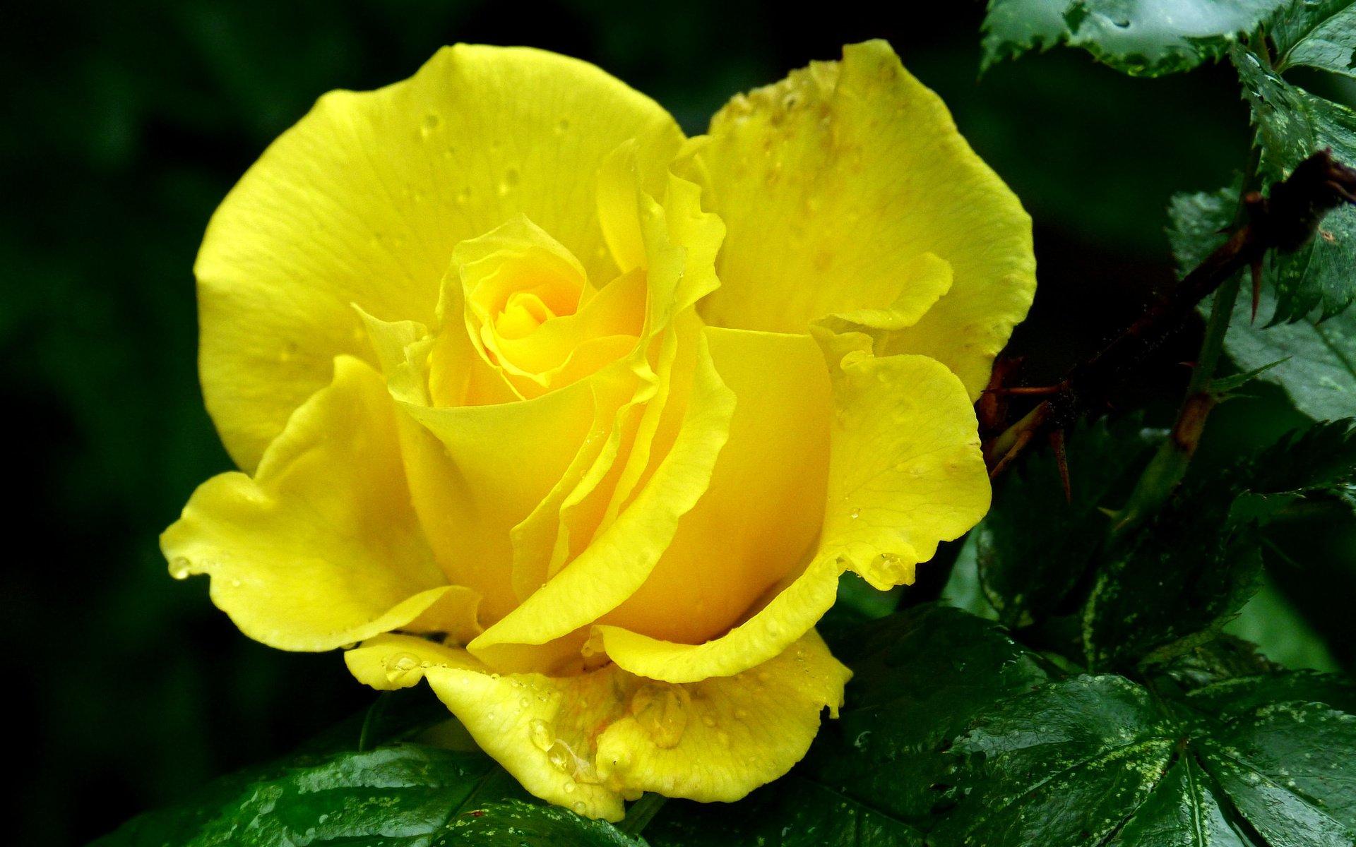 Желтые розы фото высокого качества