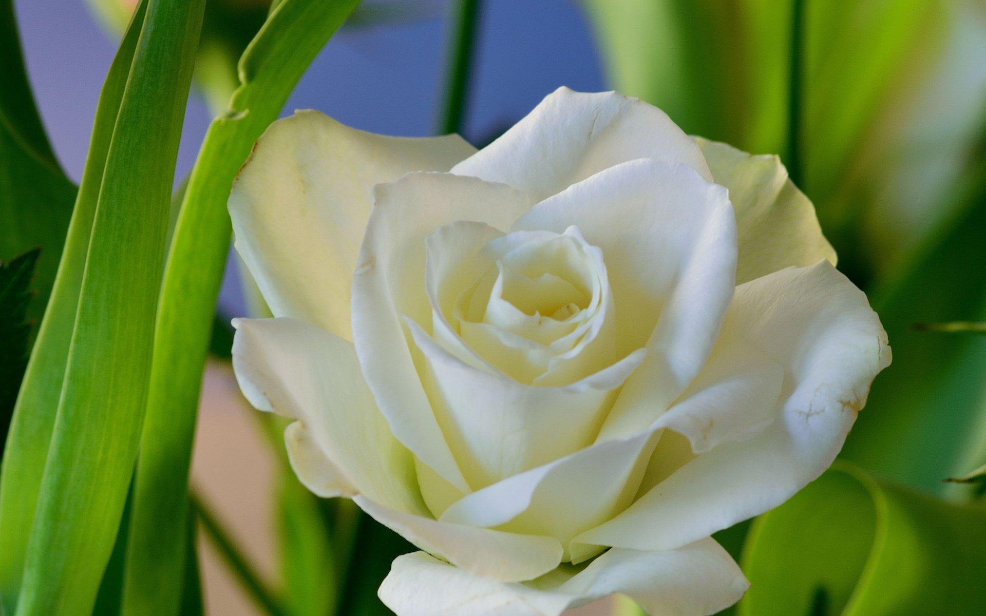 станут белые цветы на зеленом фоне фото высокого разрешения это нападение фигуры