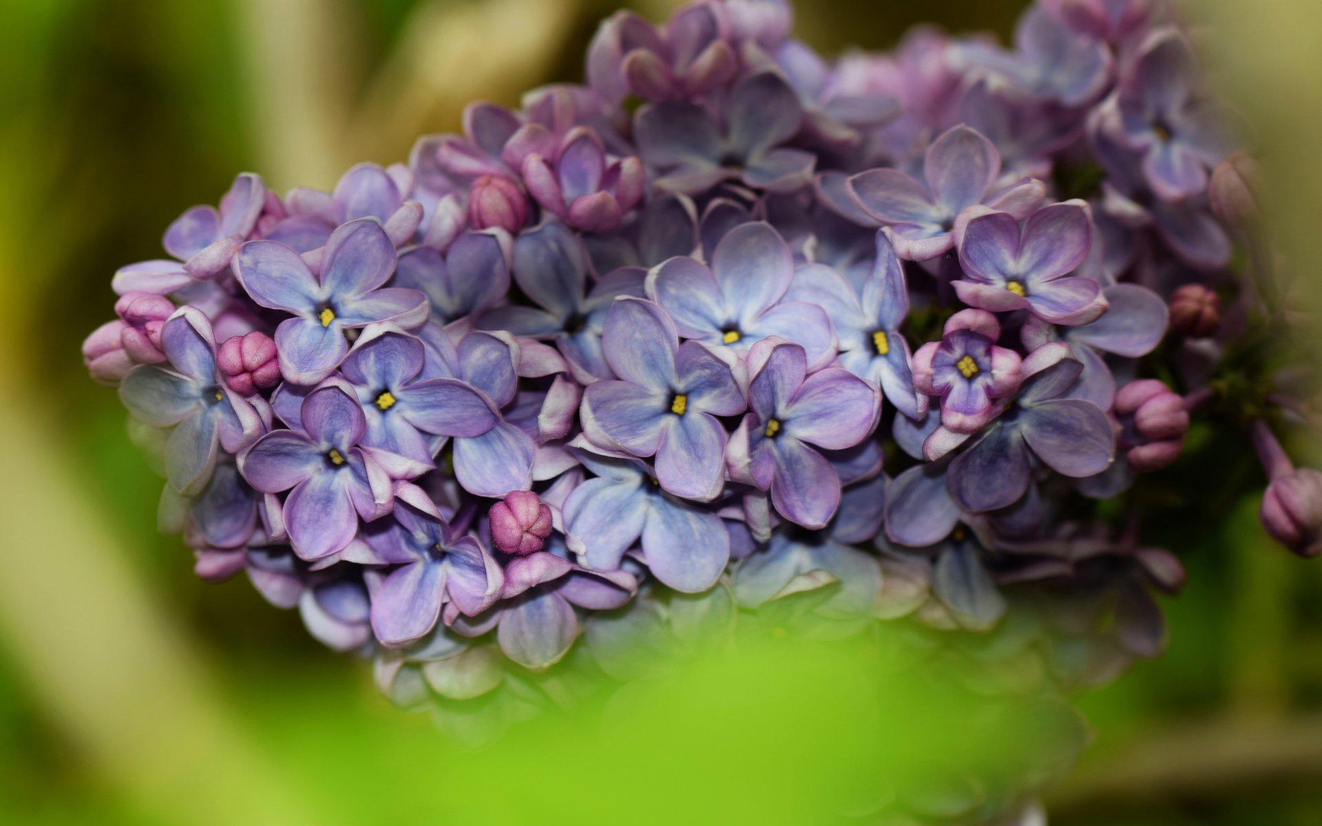 цветы природа сирень  № 2224152 загрузить