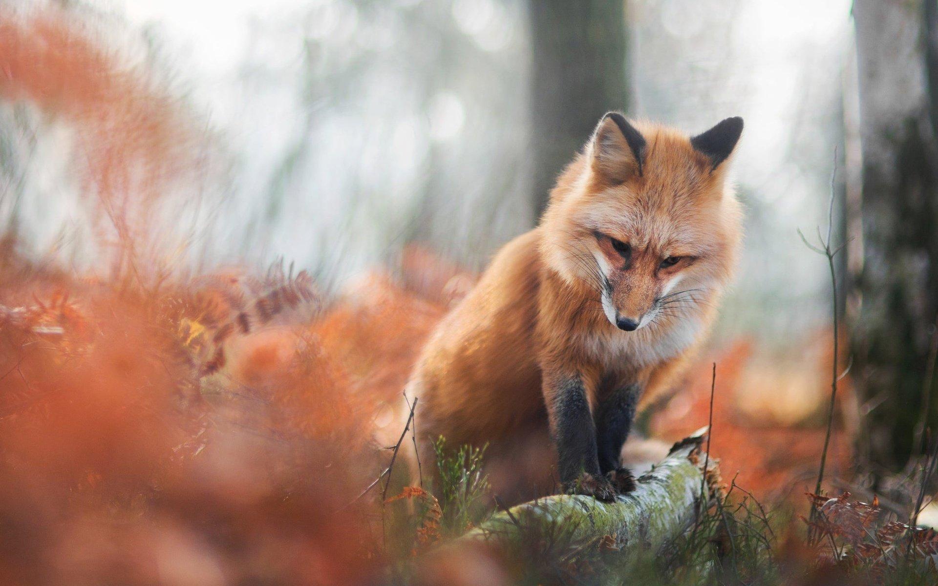 Обои лиса осень