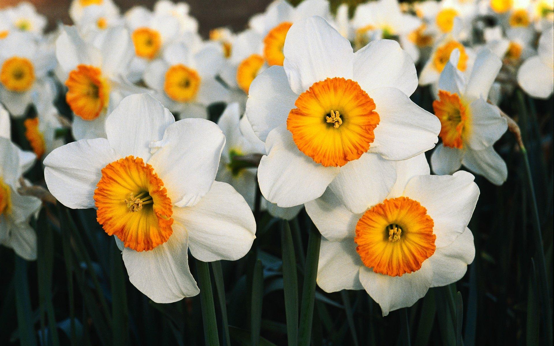 только постоянно картинки цветы красивые нарциссы информация планировках ценах