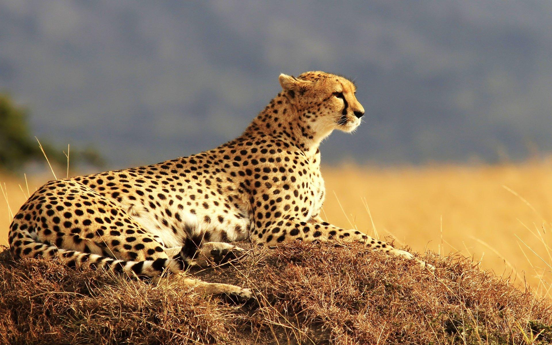 гепард кошки картинки зале