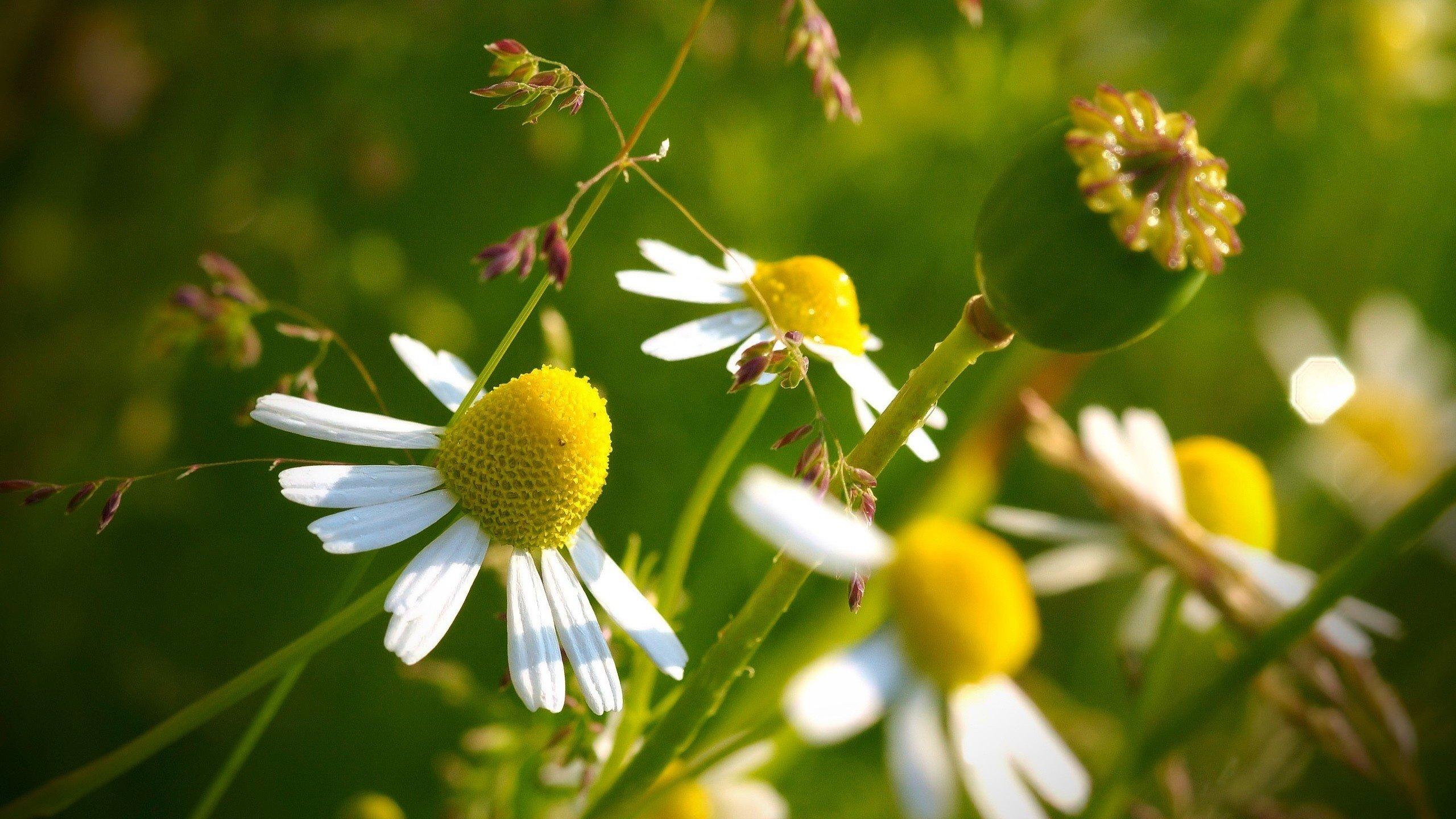 синий цветок ромашка макро скачать