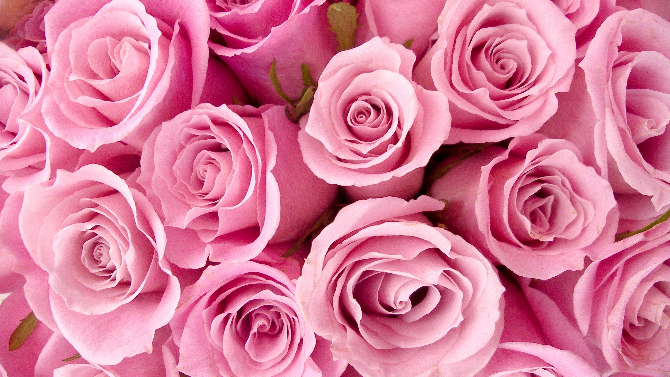 картинка на телефон розовые розы холме парка лога