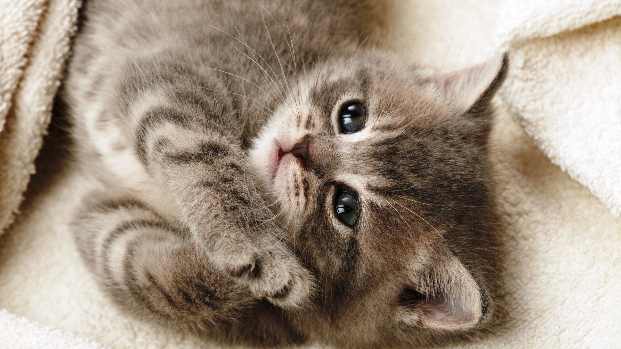 Обои smoky, дымчатый, кот, cat. Кошки foto 7