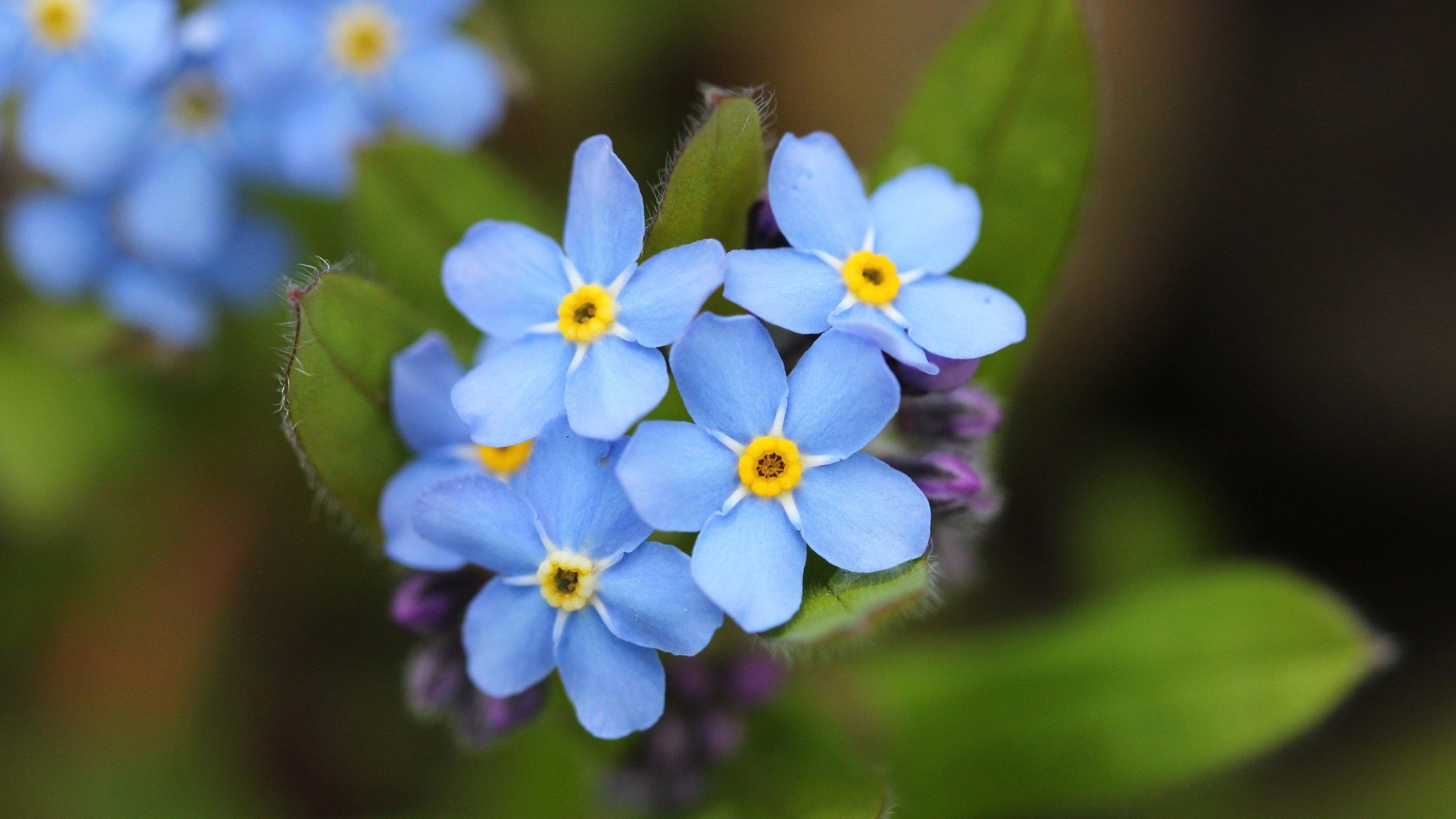 синие цветы незабудки крупный план роса  № 2779669  скачать