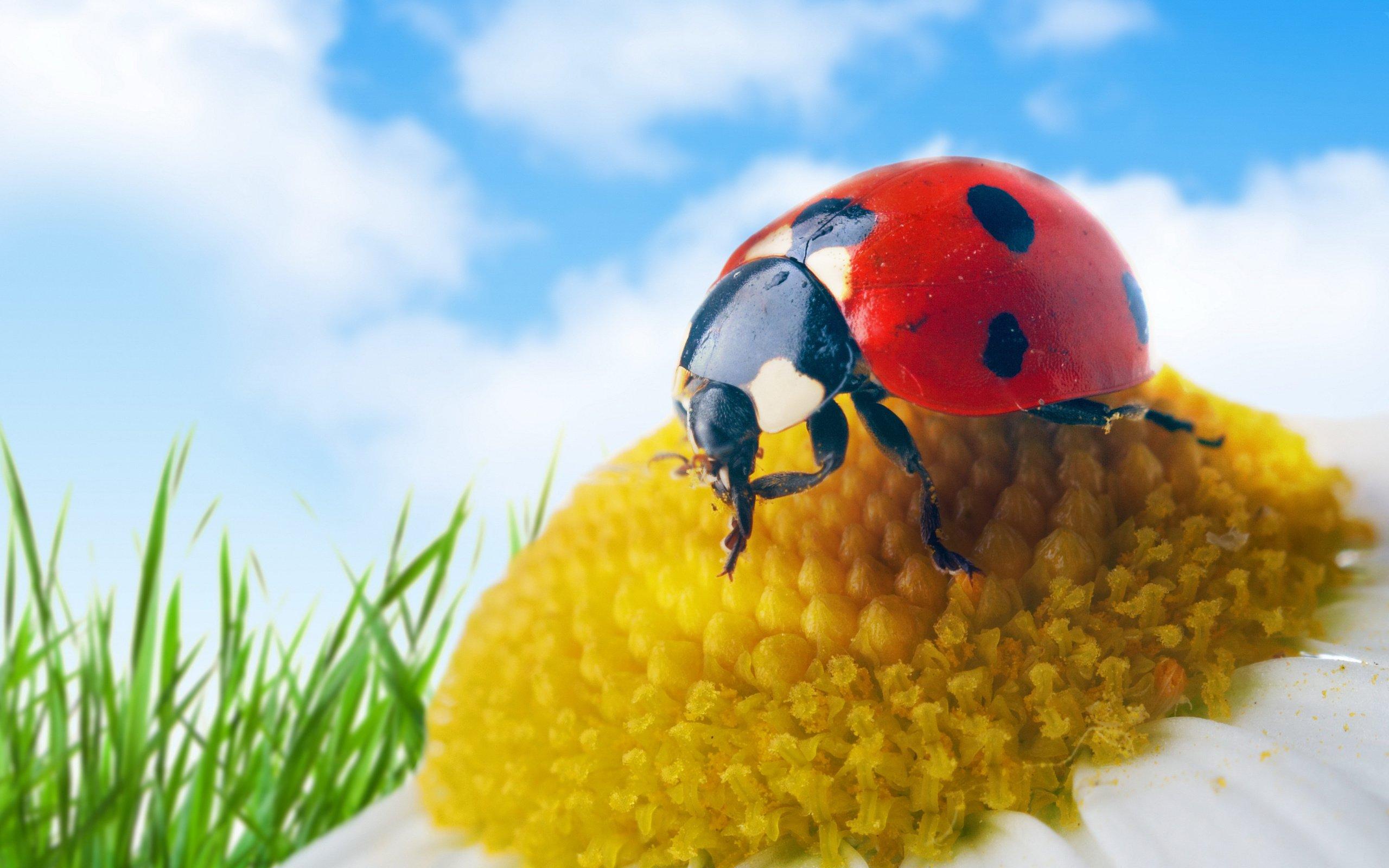 природа божья коровка цветок макро насекомое животное  № 3856316 бесплатно