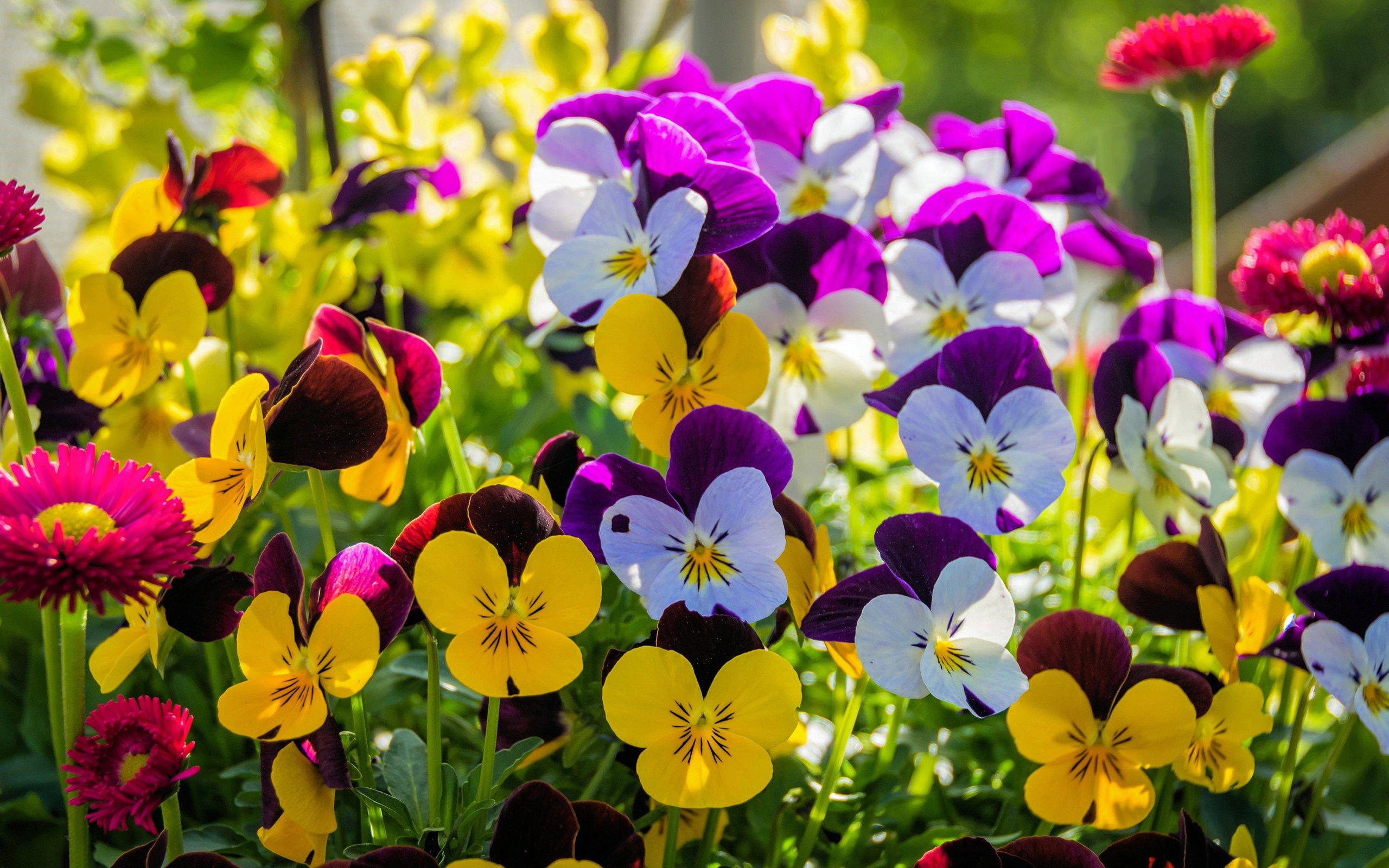 цветы анютины глазки с картинками меня