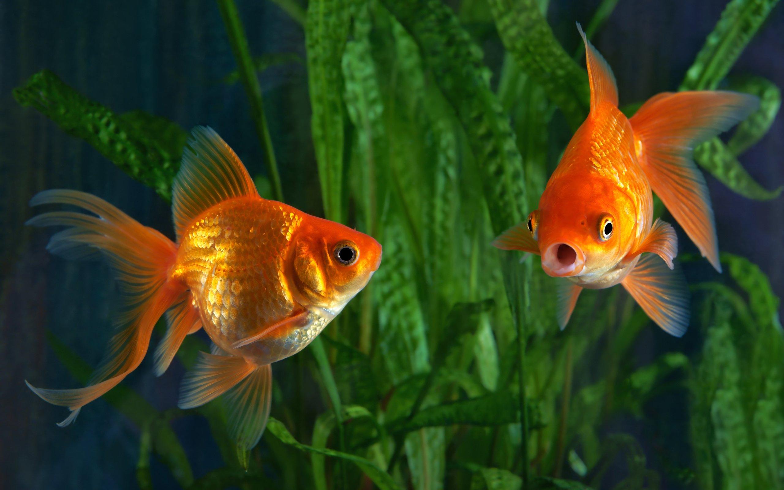 Обои Аквариум, рыбка. Животные foto 14