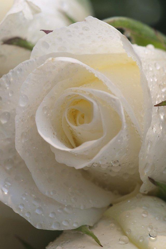 Картинки белые розы на телефон, день картинки