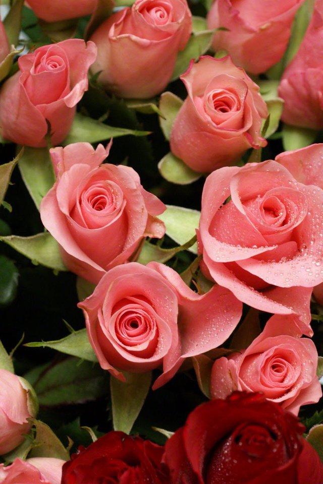 Розы картинки для телефона