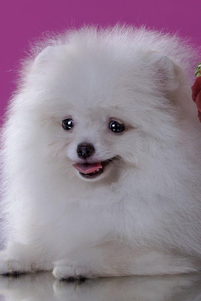 так картинки маленькой белой пушистой собачки надеялась вернуться