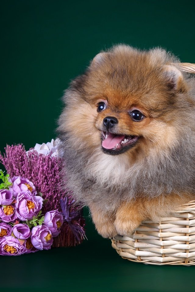 Картинки шпица щенка, днем рождения