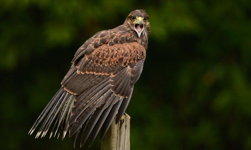 хищная птица из ястребиных 5 букв