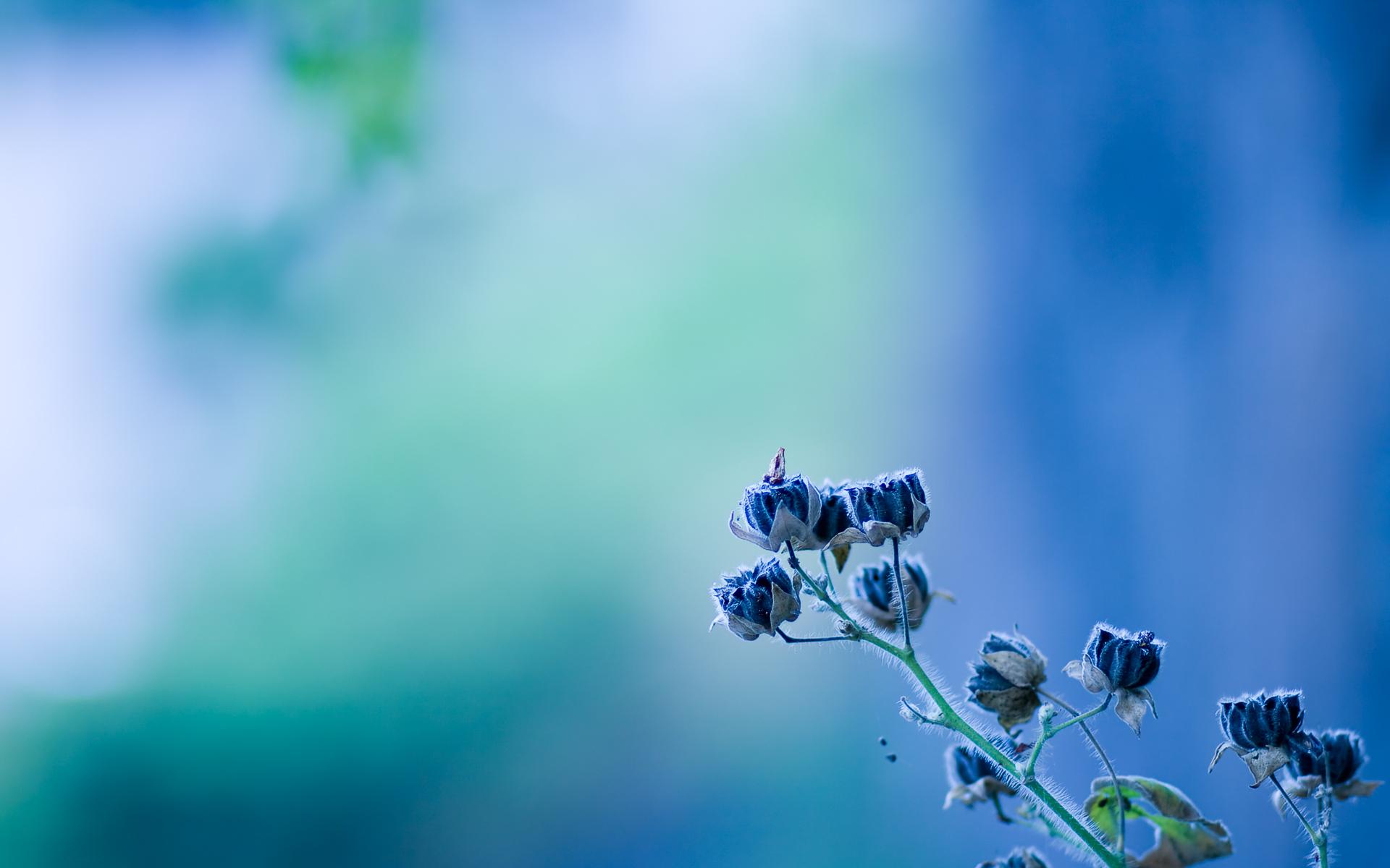 Белые и синие цветки бесплатно