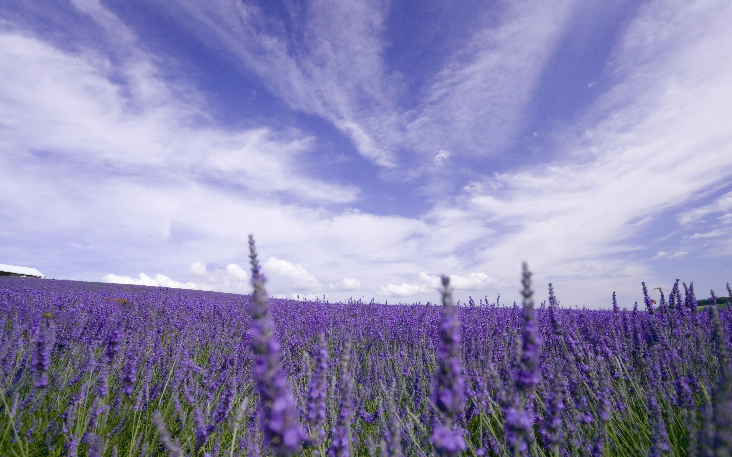 Цветы природа лаванда  № 1352139 без смс