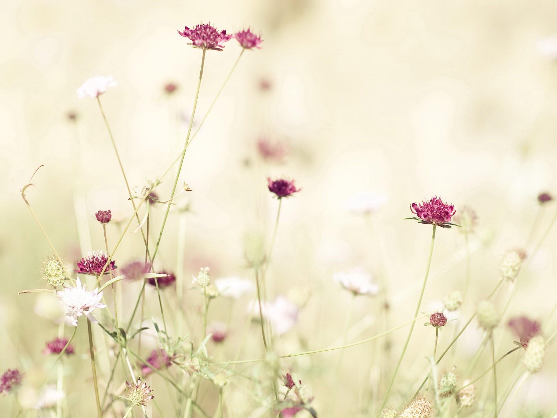 цветы полевые розовые скачать