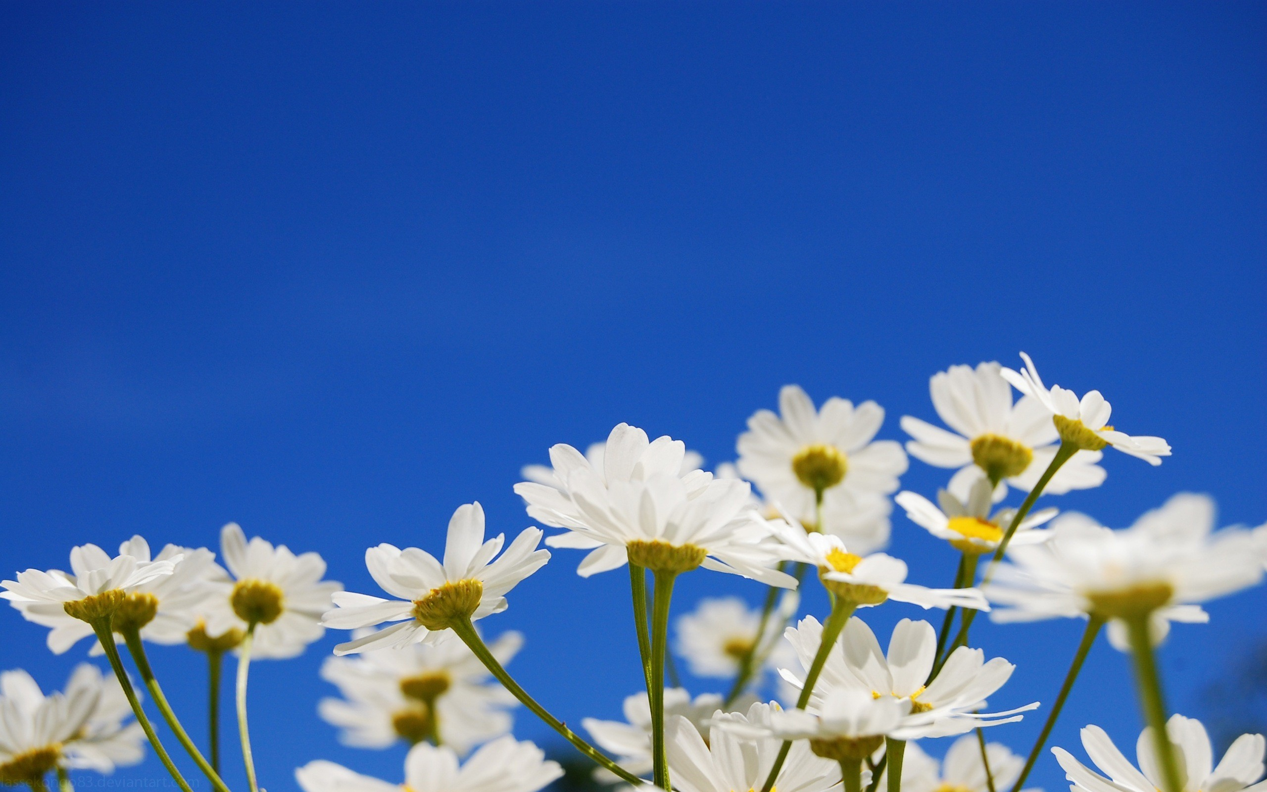 ромашки поле цветы chamomile field flowers бесплатно
