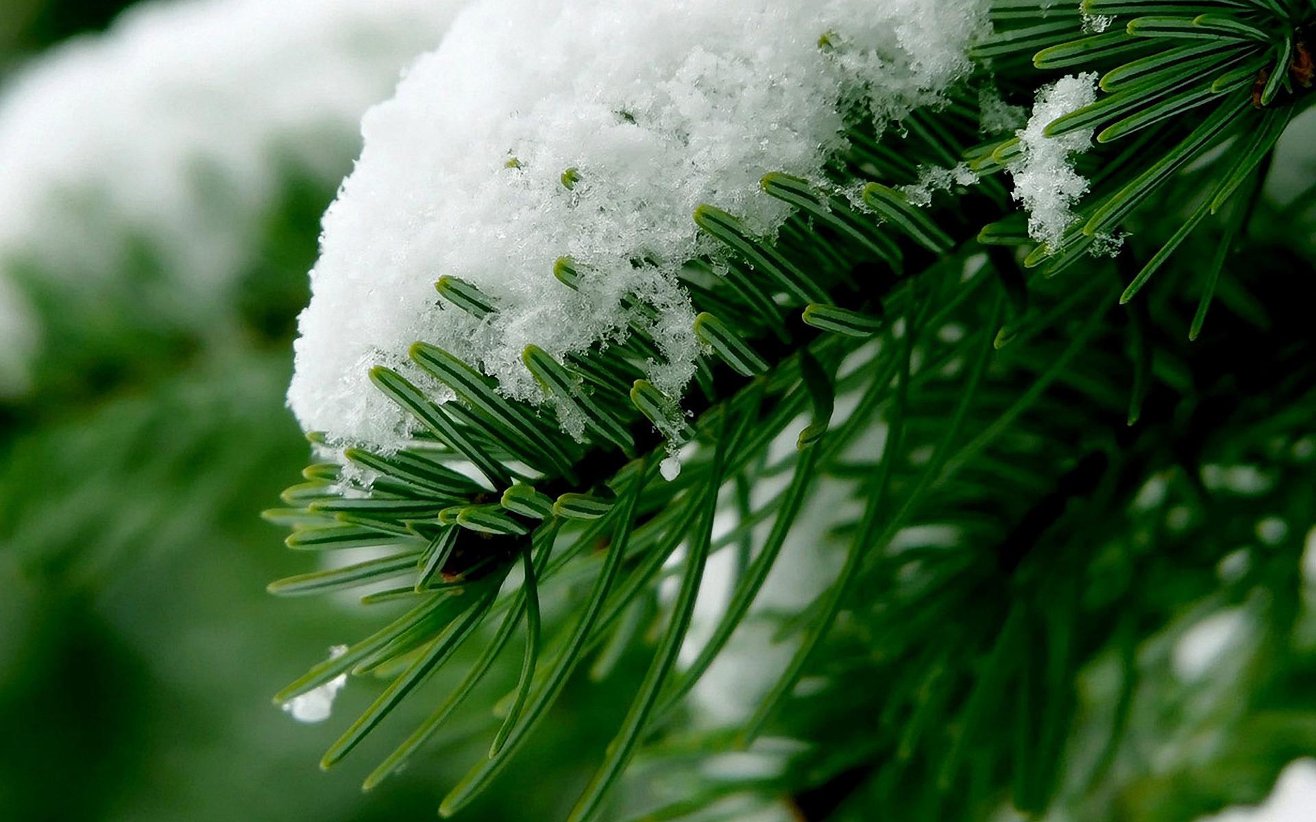 снег ели зима  № 3180924 бесплатно