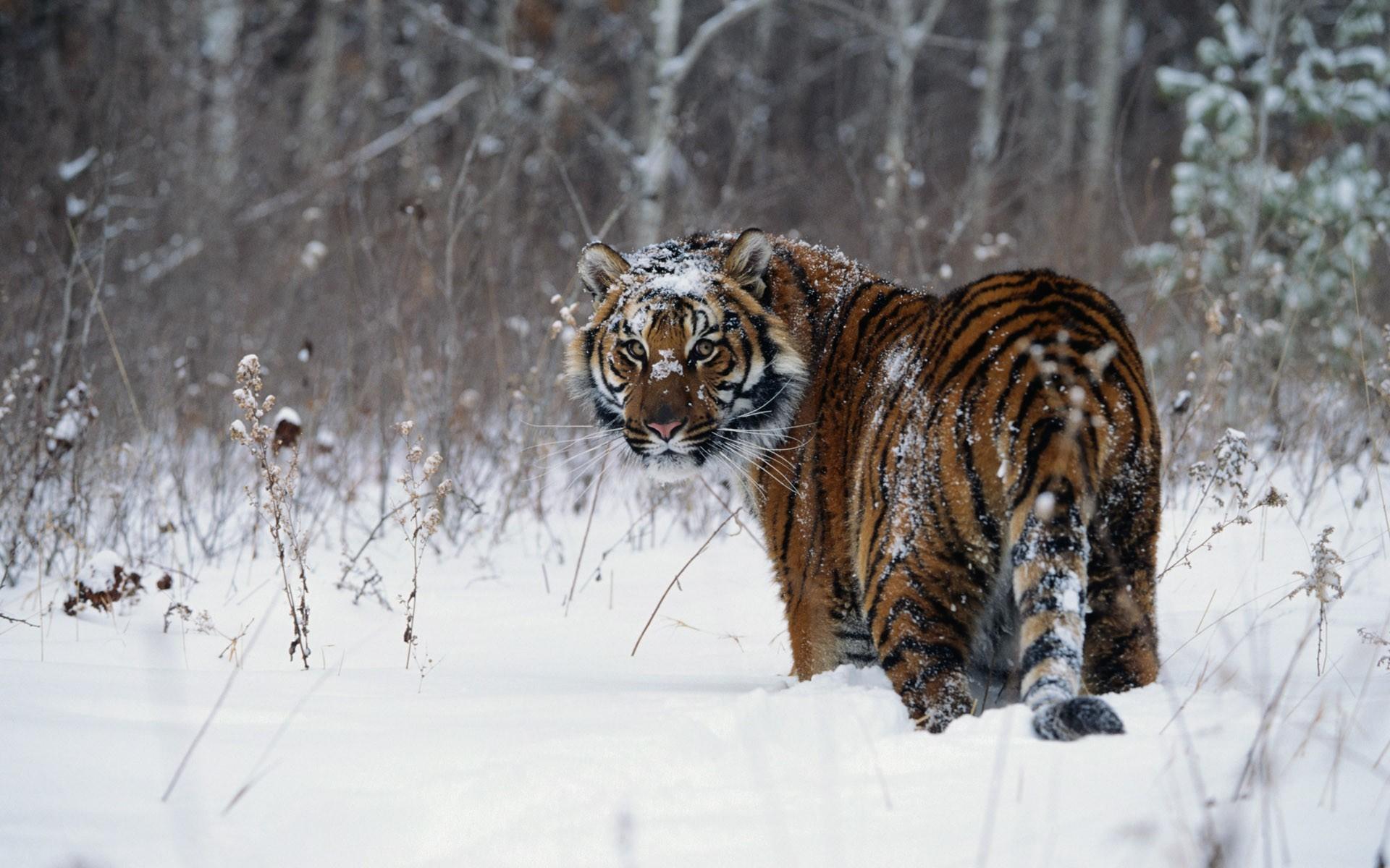 тигр на снегу бесплатно