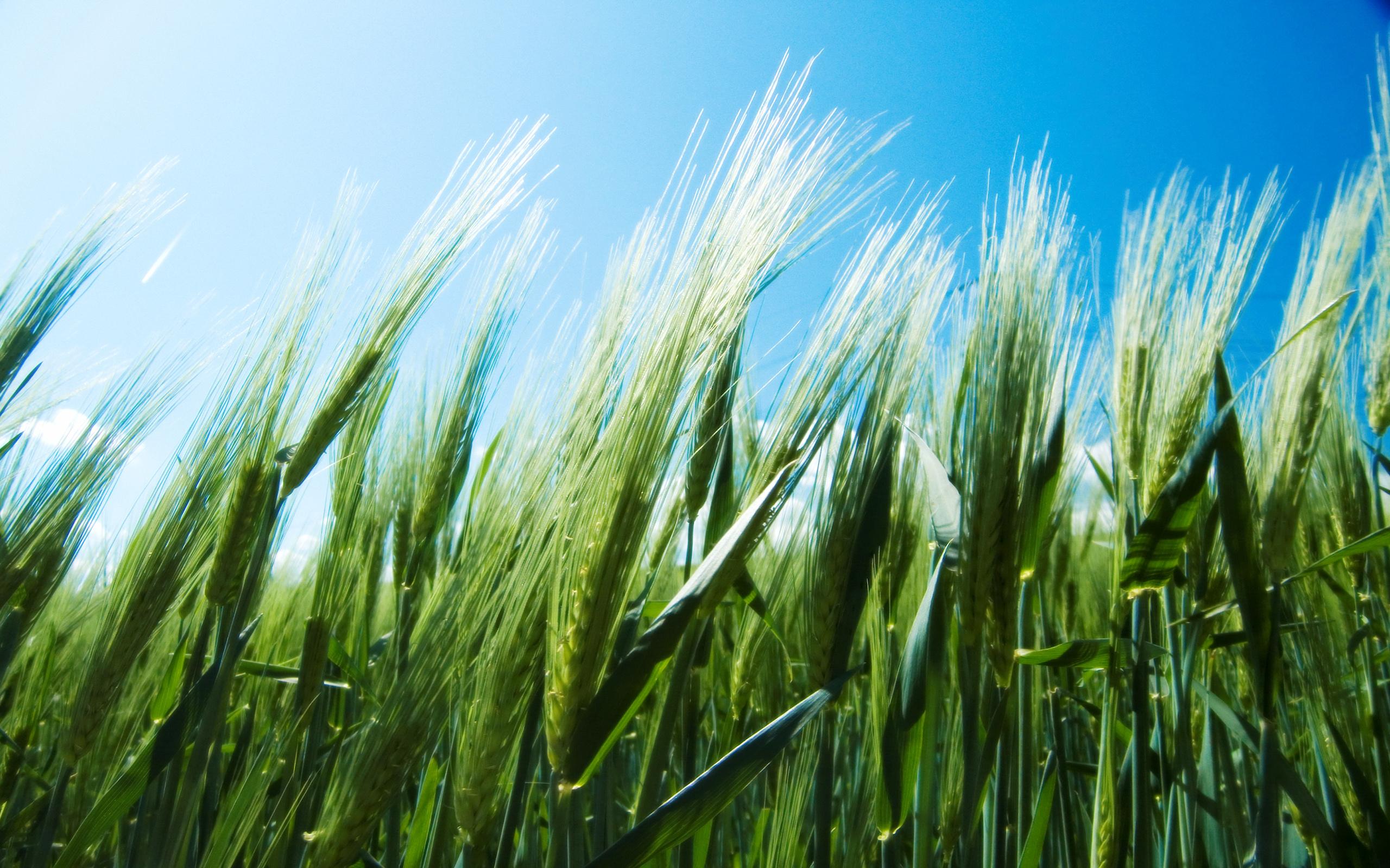 Зеленая пшеница  № 2559116  скачать