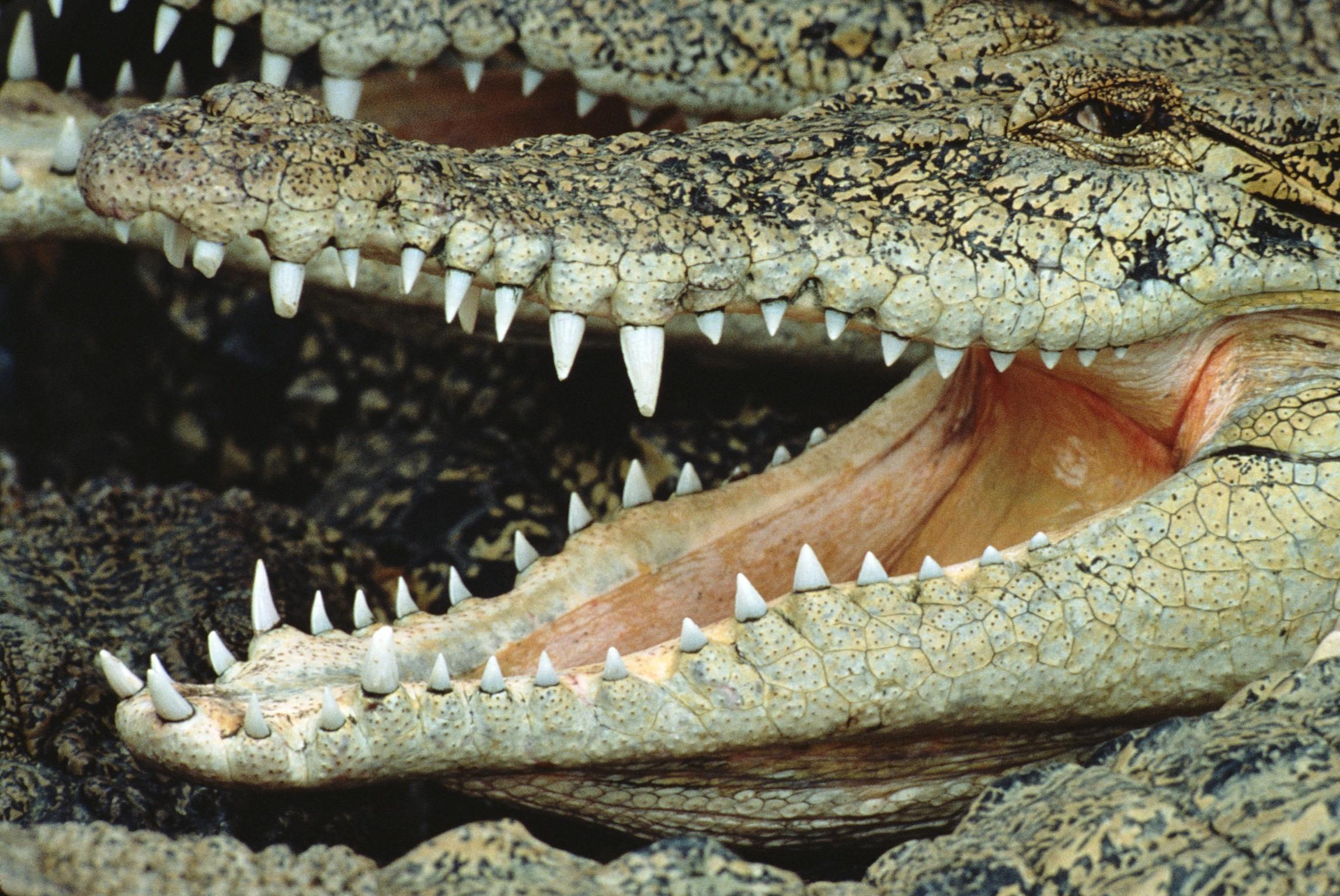 Пасть крокодила загрузить