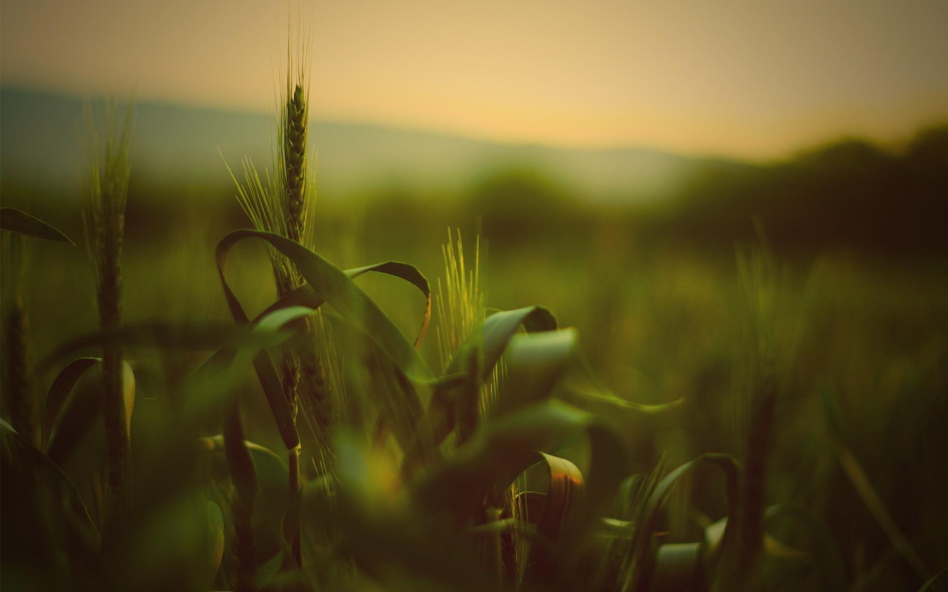 Зеленая пшеница  № 2559208  скачать