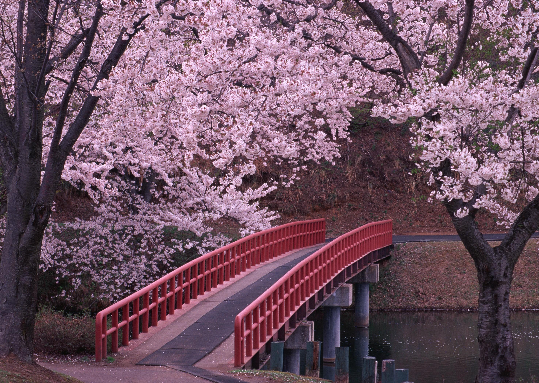 Картинки японской сакуры, открытка марта