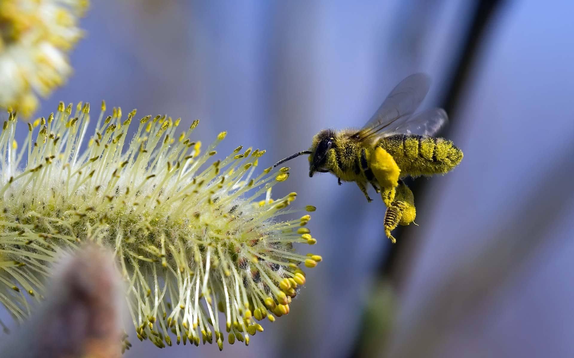 макро одуванчик животное насекомое пчела цветы природа  № 3007283 бесплатно
