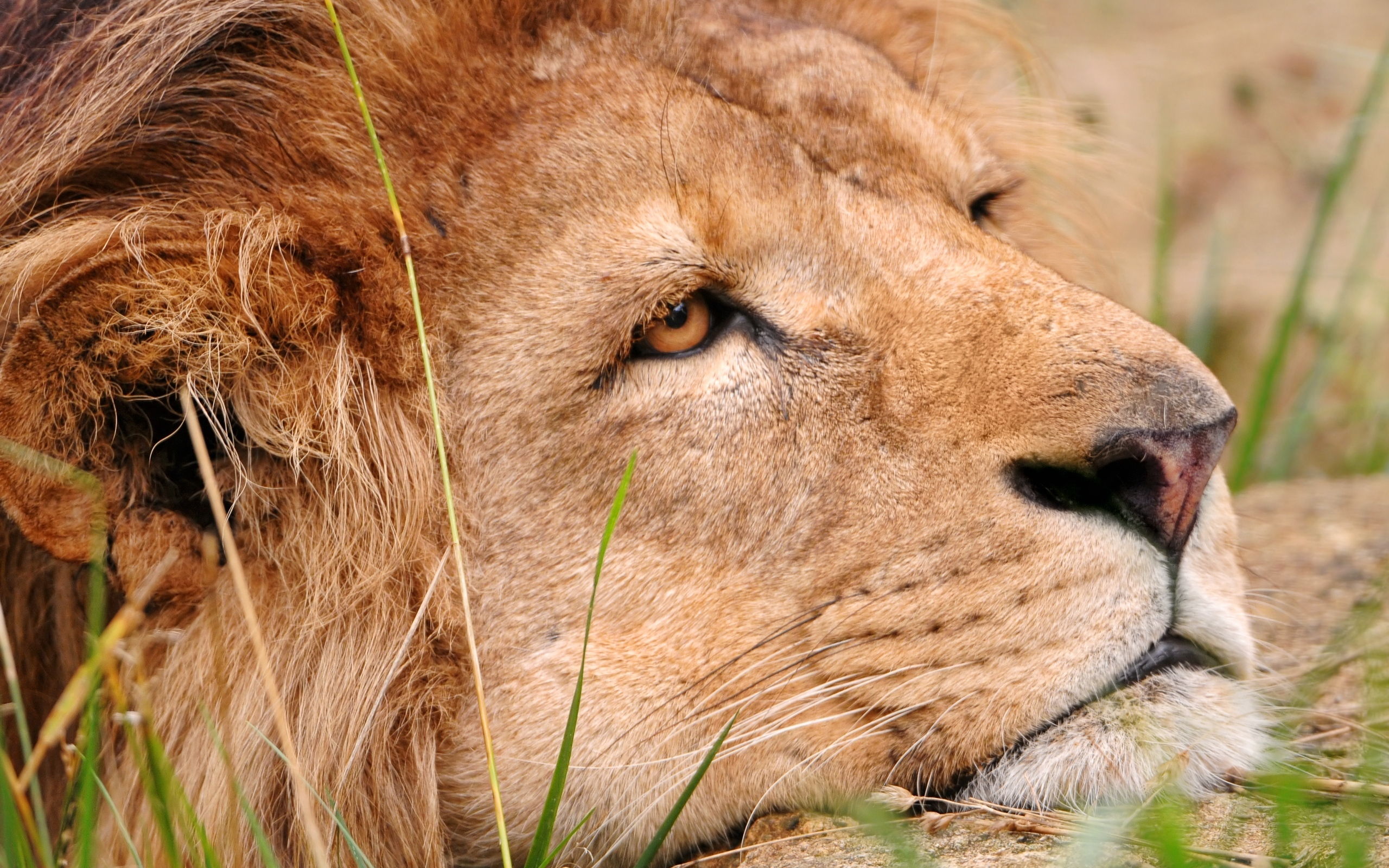 Открытки лев скучает, позитив-доброе утро как