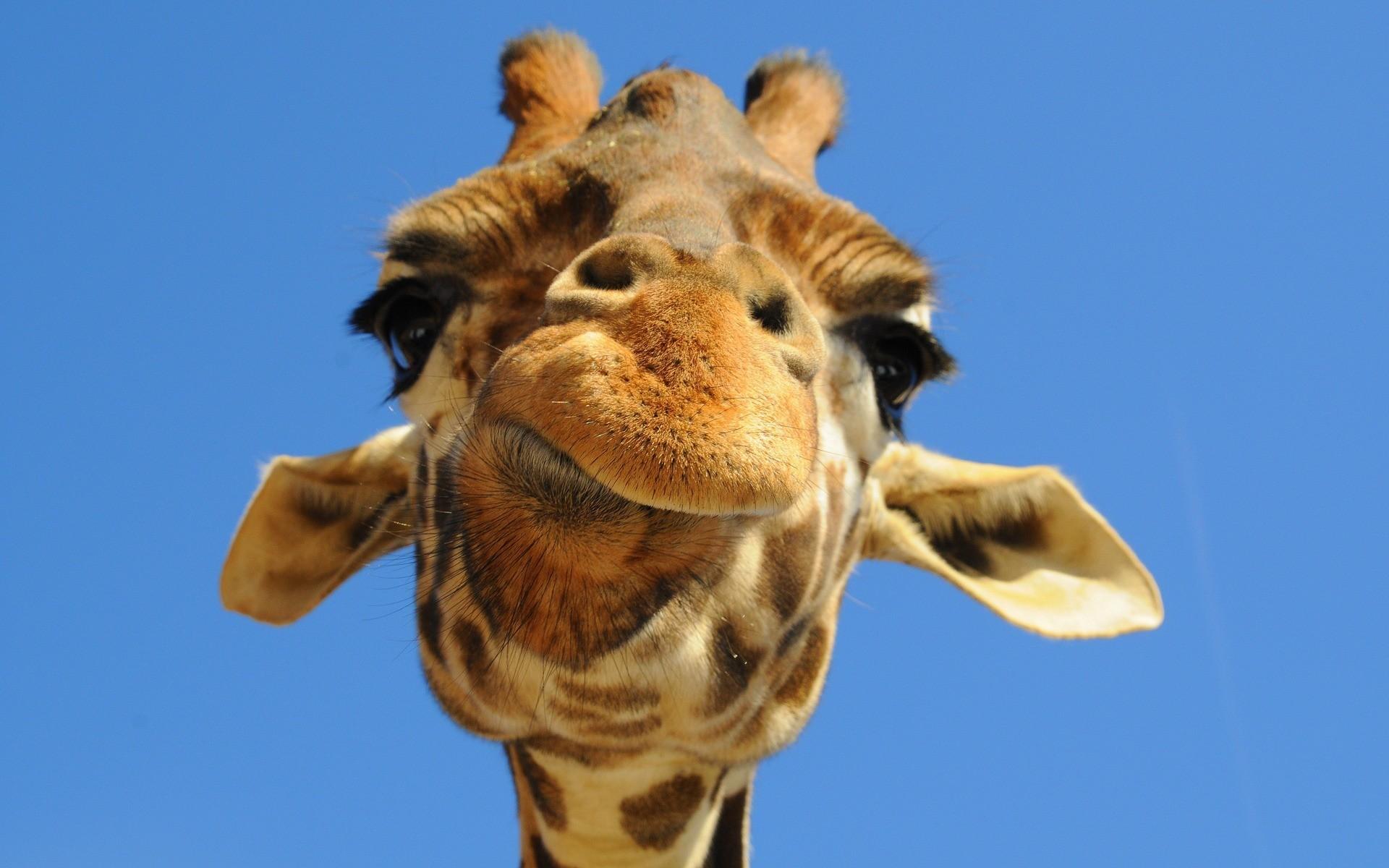 Картинки прикольный жираф, бумаги шаблоны открытки