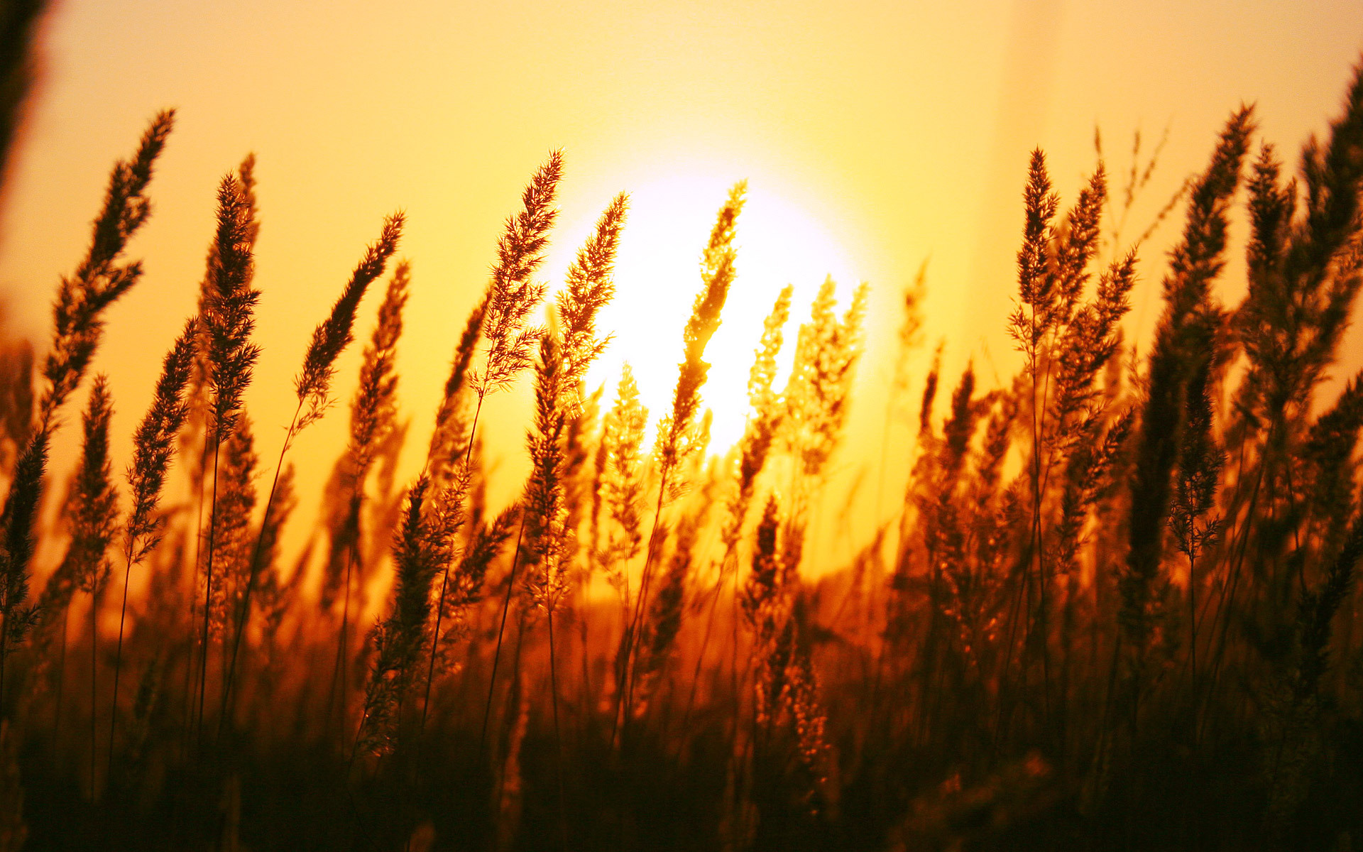 поле колоски закат загрузить
