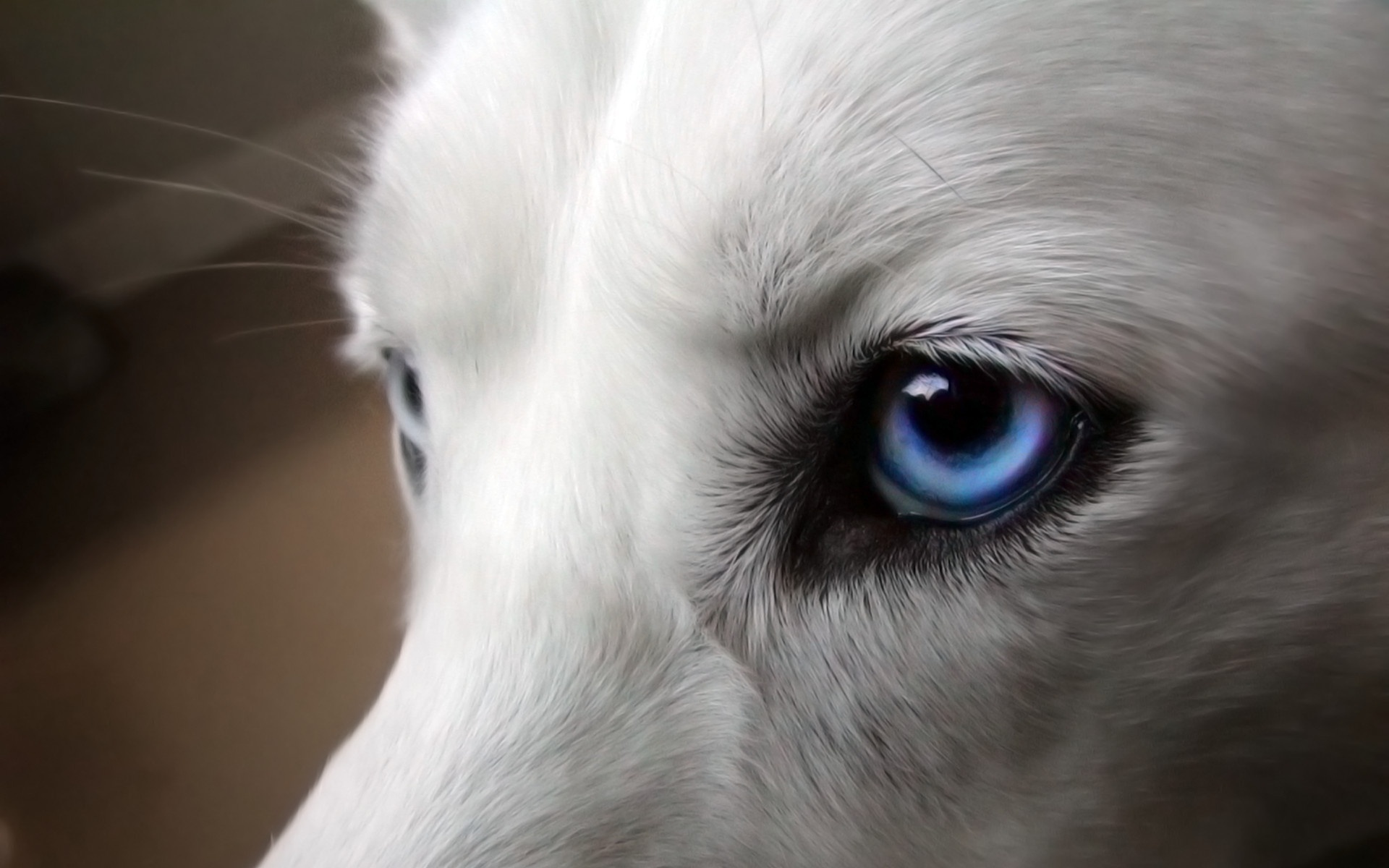White and blue wolf
