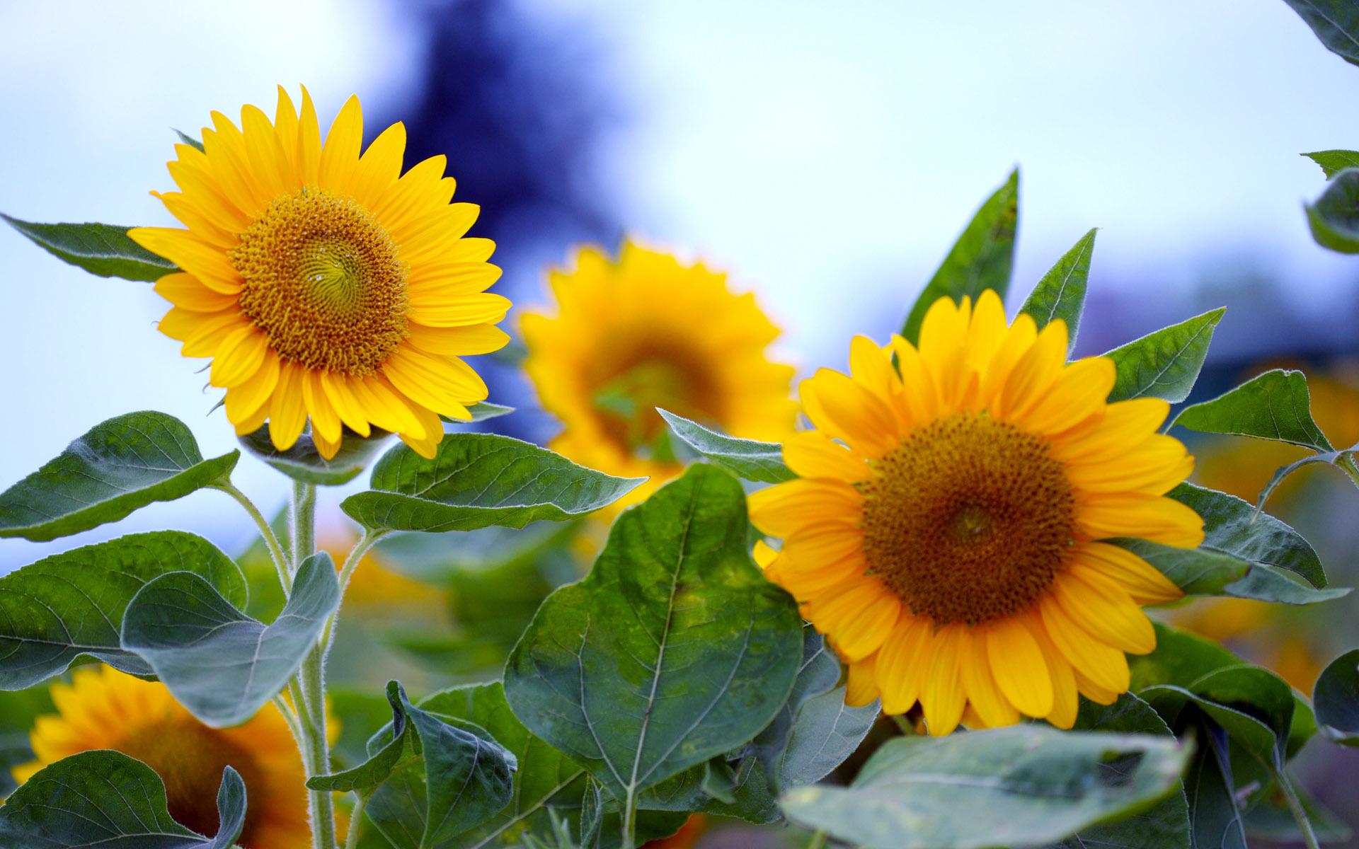 природа цветы подсолнечник  № 2671824 бесплатно