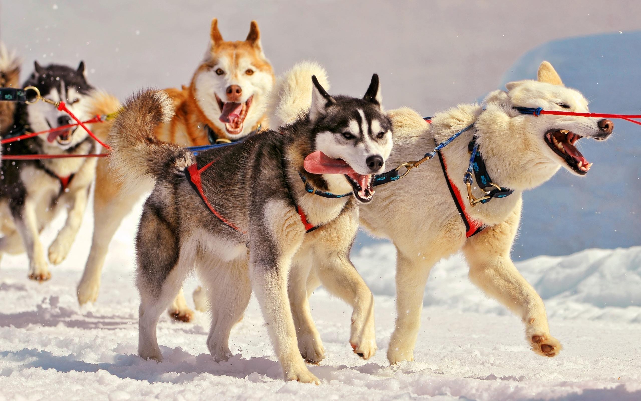 Лайка картинки собак