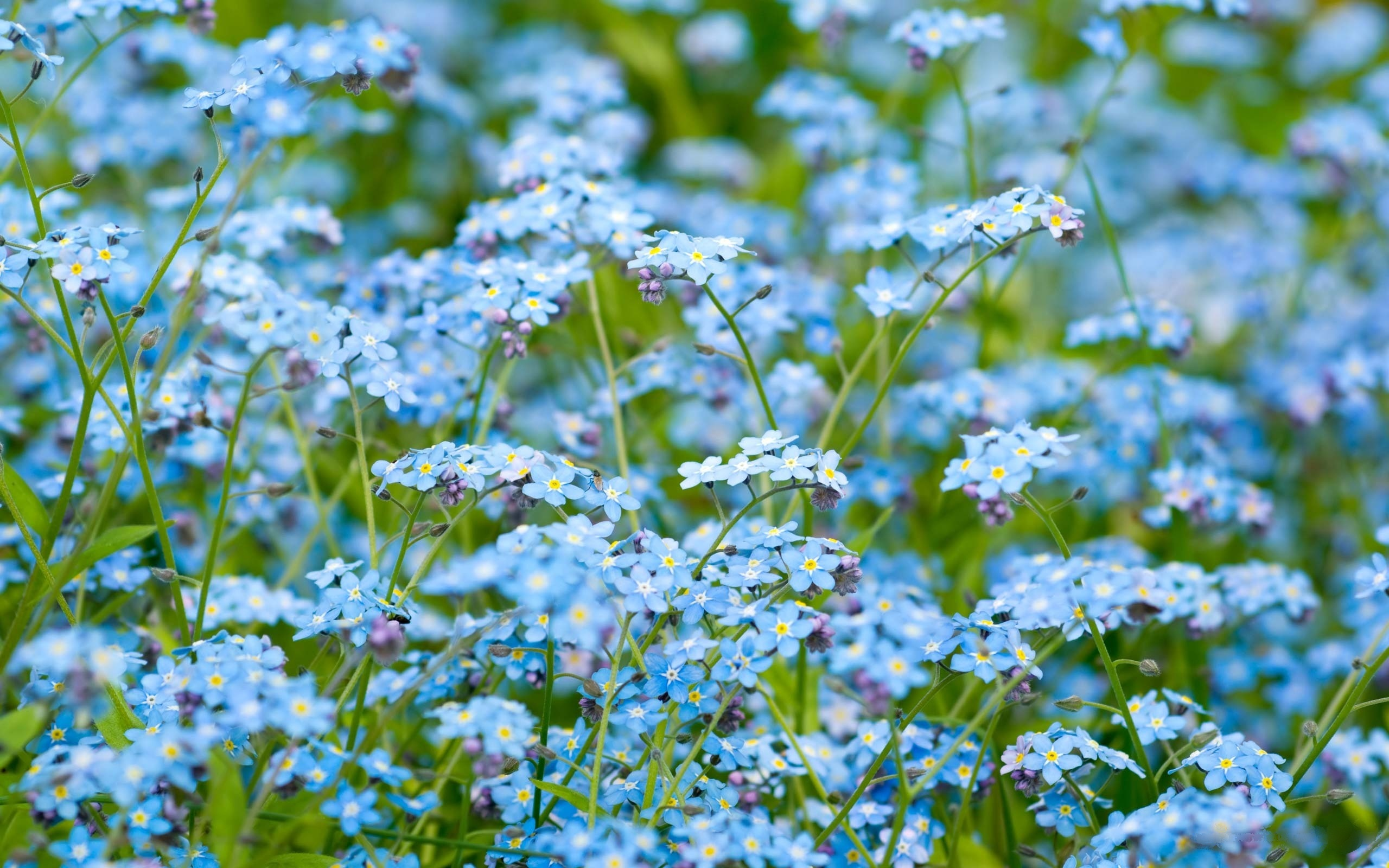 синие цветы незабудки крупный план роса  № 2779689 загрузить