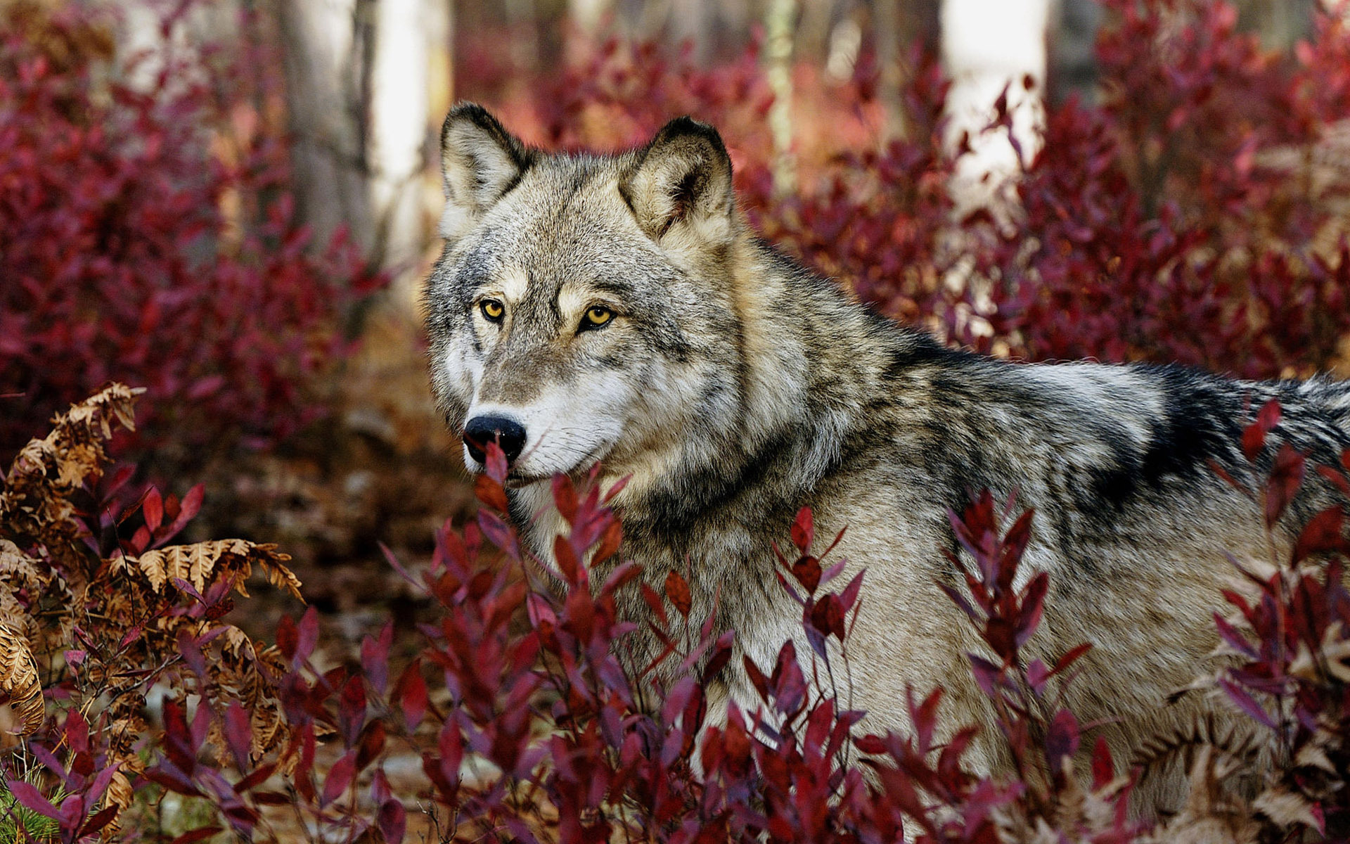 the nature of wolves Gray wolves and dogs diverged from an extinct wolf species some 15,000 to 40,000 years ago  research reported in nature communications pushed likely dates for domestication further back into.