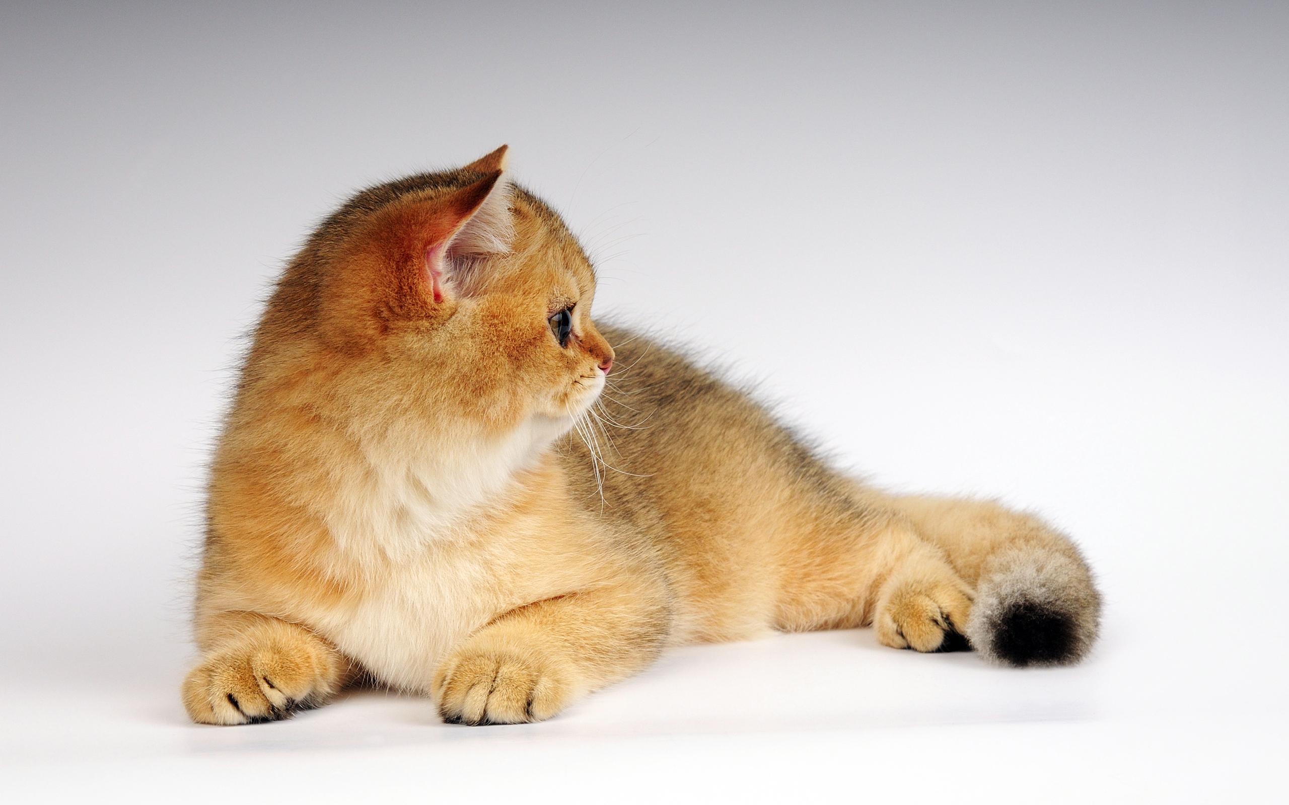 Лежащий кот  № 176257 бесплатно