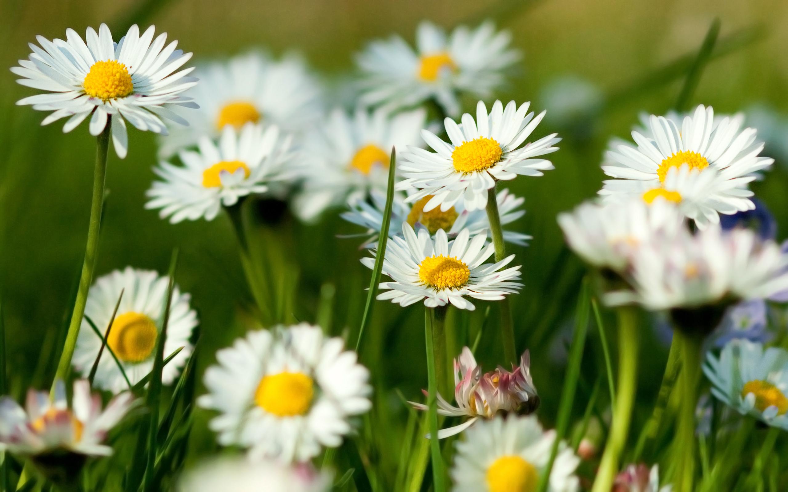ромашка цветы фокус  № 1096451 бесплатно