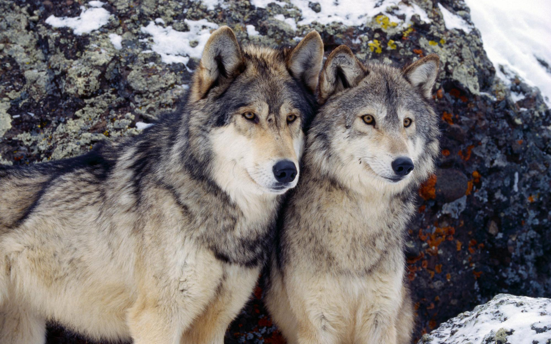 the reintroduction of wolves into the wild