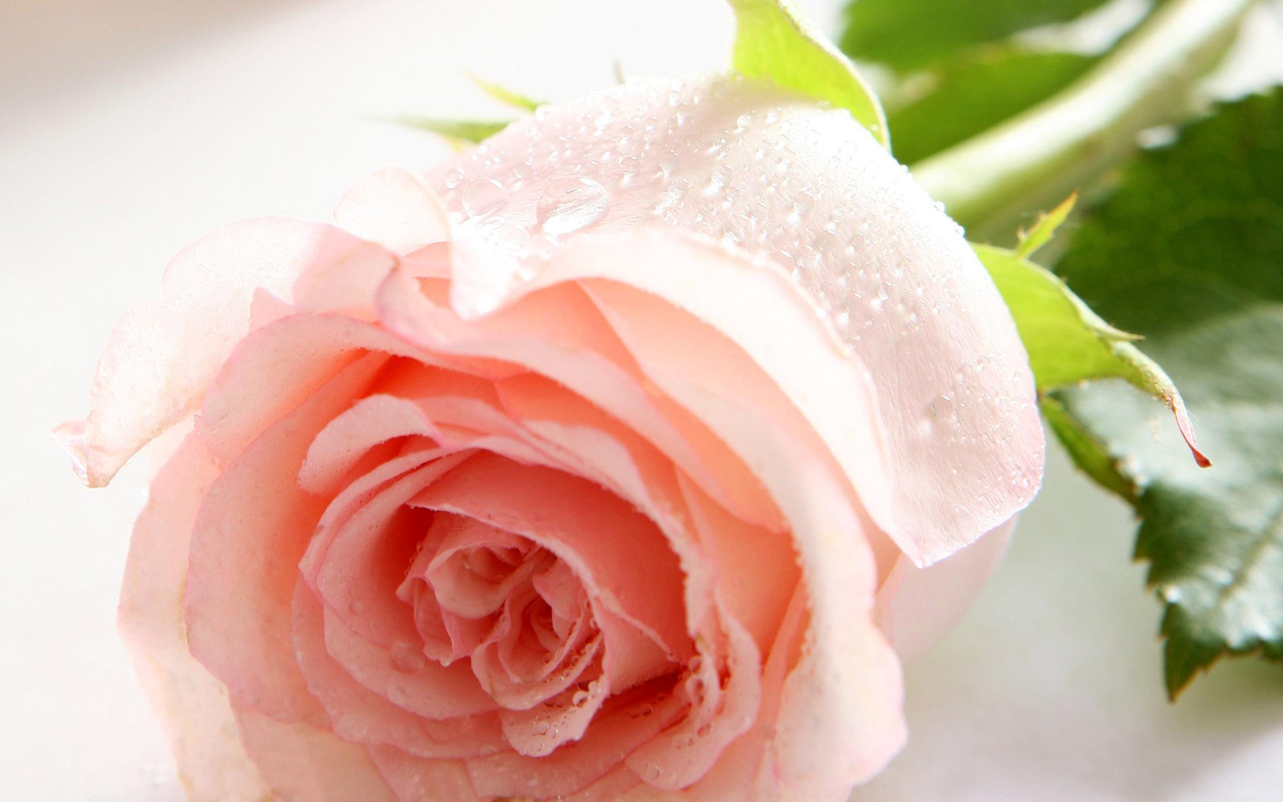 картинка на рабочий стол розы нежные розы процессе сможете идентифицировать