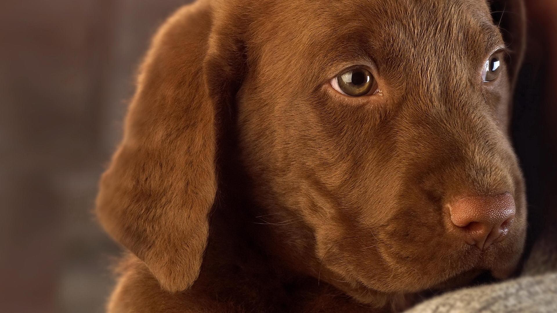 собака мордочка уши  № 1069413 бесплатно