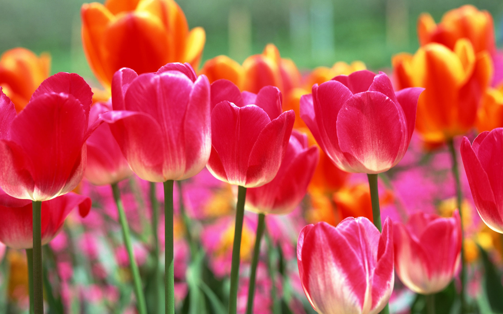Картинки цветы тюльпаны на рабочий стол, храни тебя бог